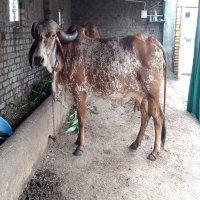 gir cow farm