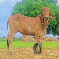 price of gir heifer