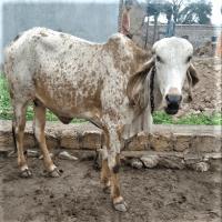kabri calf image