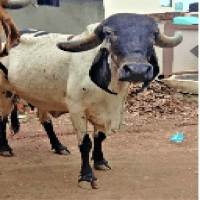 liladi cow price