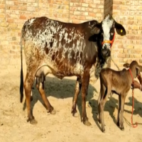 rathi cow cost