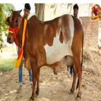 rathi cow sale price