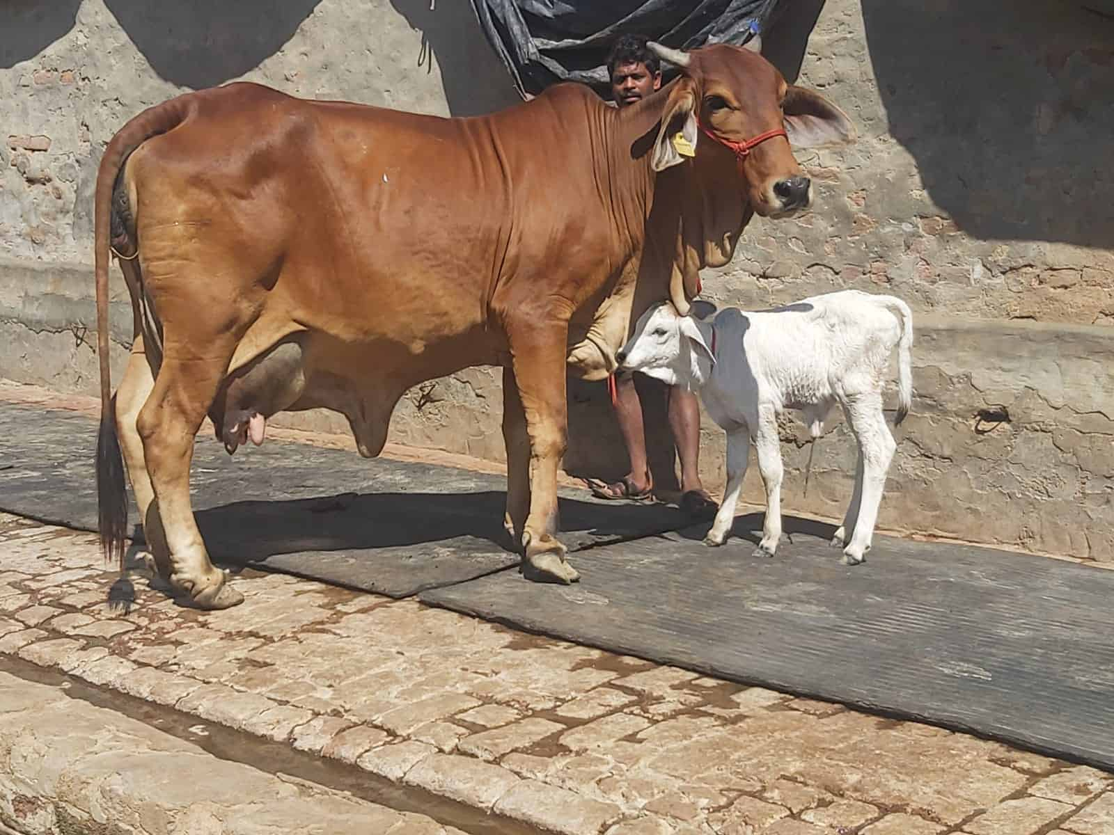 cost of rathi cow