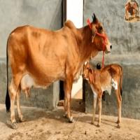 sahiwal cow price