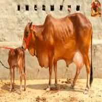 sahiwal cow farm