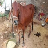 sasahiwal cow farm near me