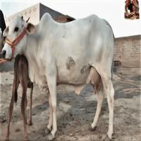tharparkar cow price