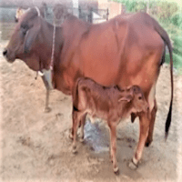 sahiwal cow cost