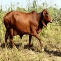sahiwal cow sell cost